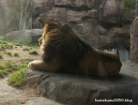 ライオン_169