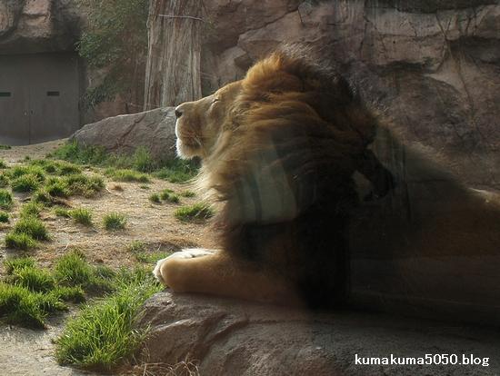 ライオン_170