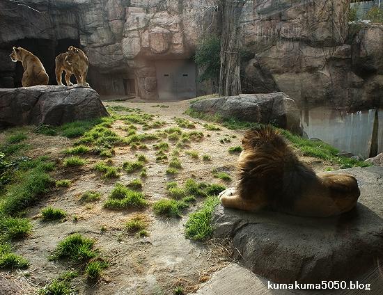ライオン_168