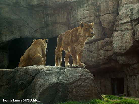 ライオン_166