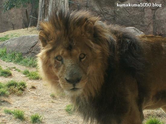ライオン_172