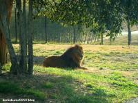 ライオン_70