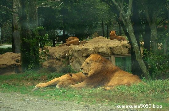 ライオン_25