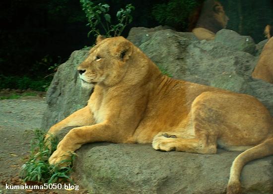 ライオン_23