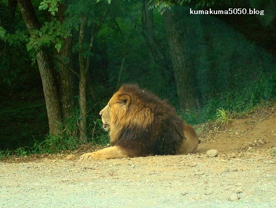 ライオン_19