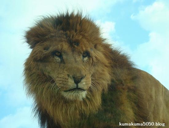 ライオン_69