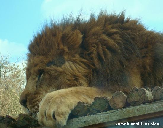ライオン_68