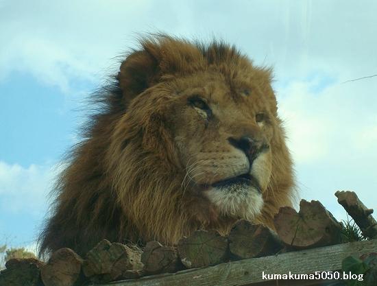 ライオン_66