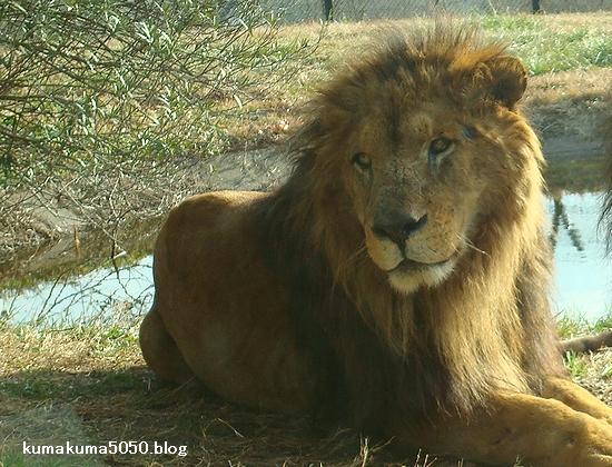 ライオン_73
