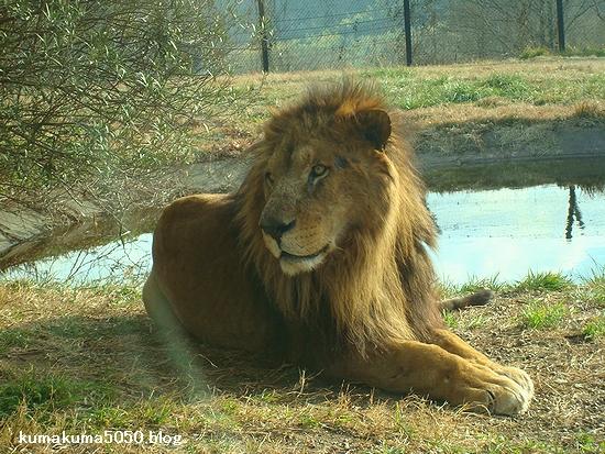 ライオン_71