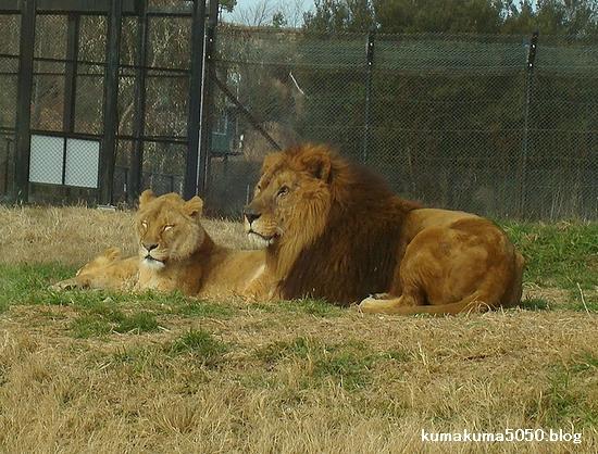 ライオン_80