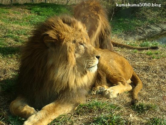 ライオン_79