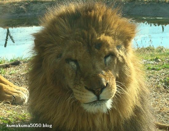 ライオン_77
