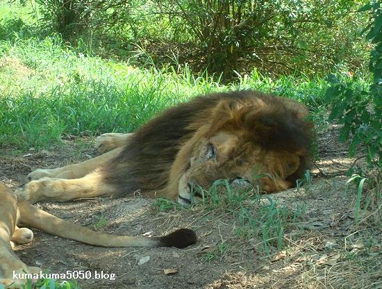 ライオン_86