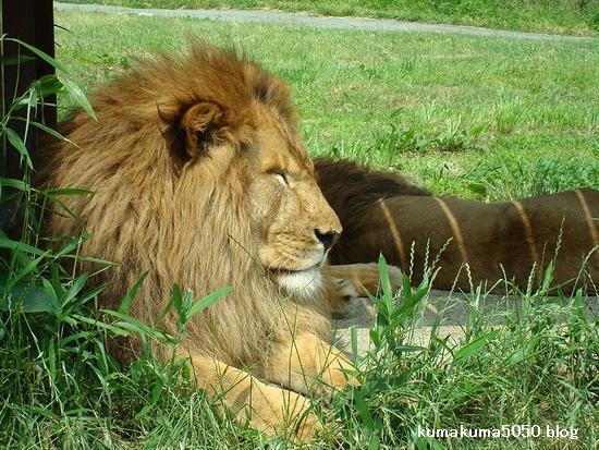 ライオン_10