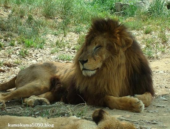 ライオン_15