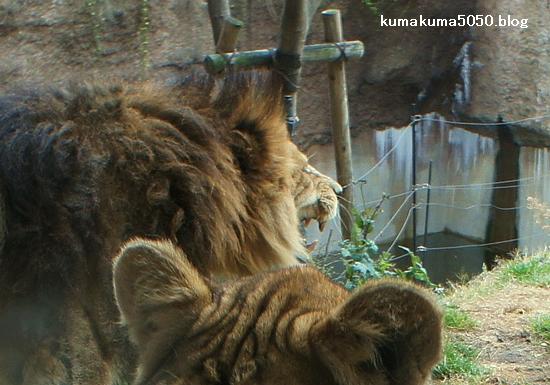 ライオン_198