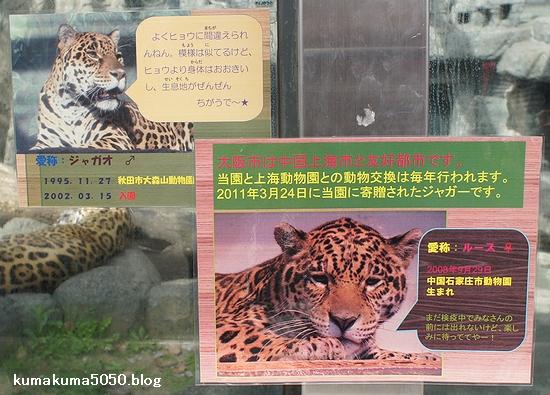 ジャガー_9
