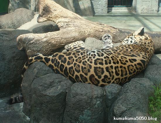 ジャガー_8