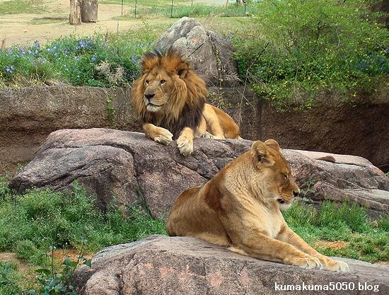 ライオン_253