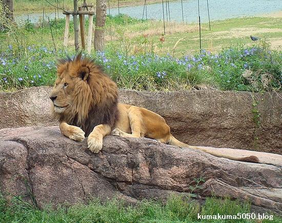 ライオン_250