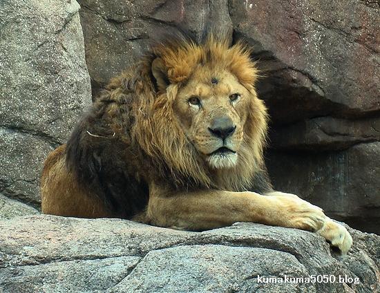 ライオン_261