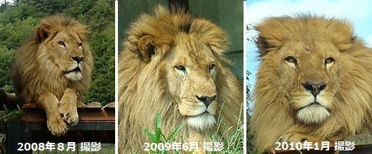 ライオン_87