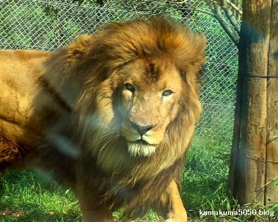 ライオン_277