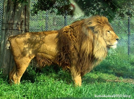 ライオン_275