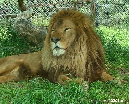 ライオン_274