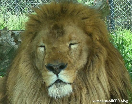 ライオン_272