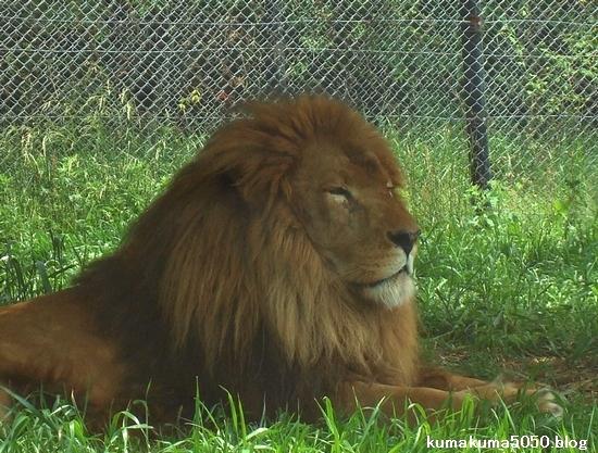 ライオン_267