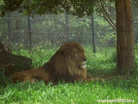 ライオン_266