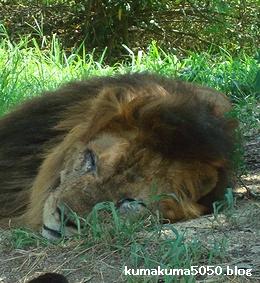 ライオン_279