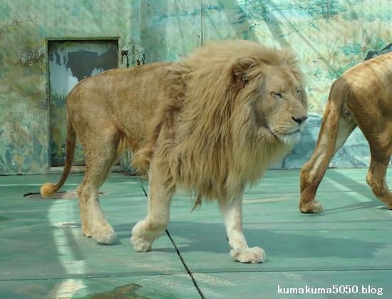 ホワイトライオン_10