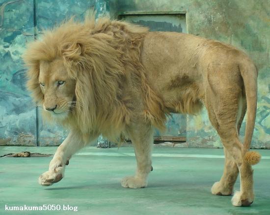 ホワイトライオン_30