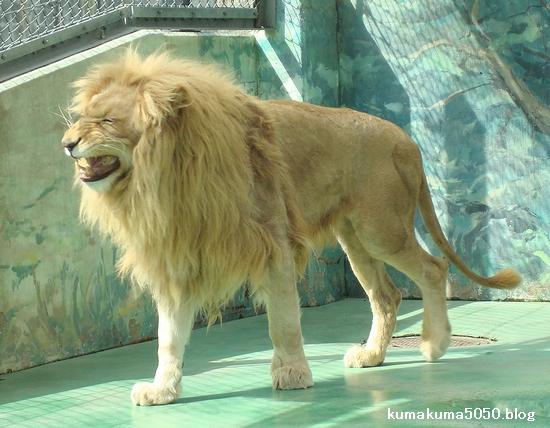 ホワイトライオン_34
