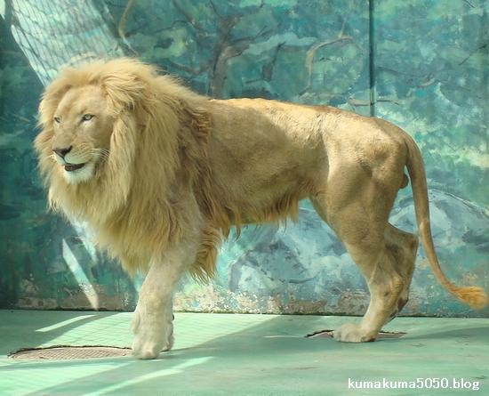ホワイトライオン_33
