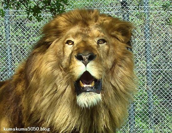 ライオン_286