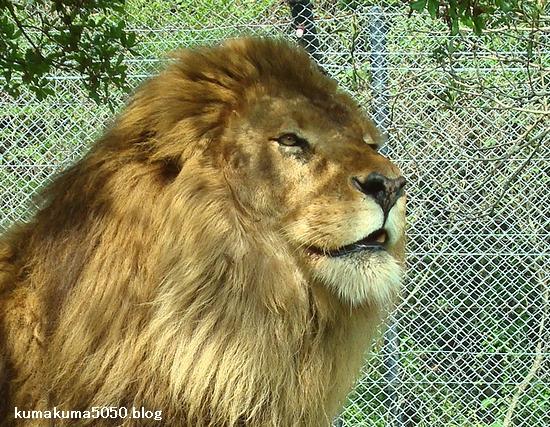 ライオン_285