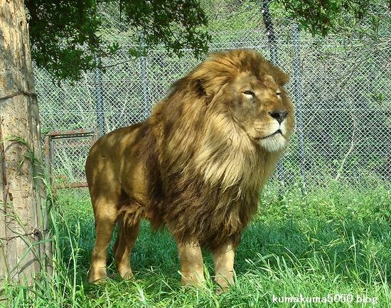 ライオン_283