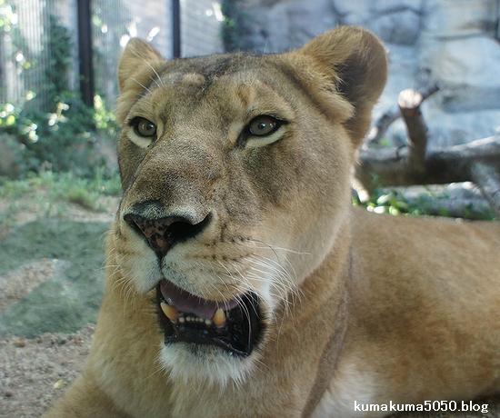 ライオン_299