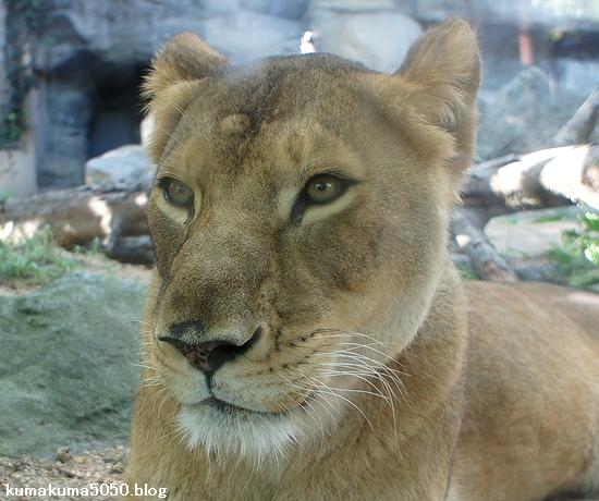 ライオン_298