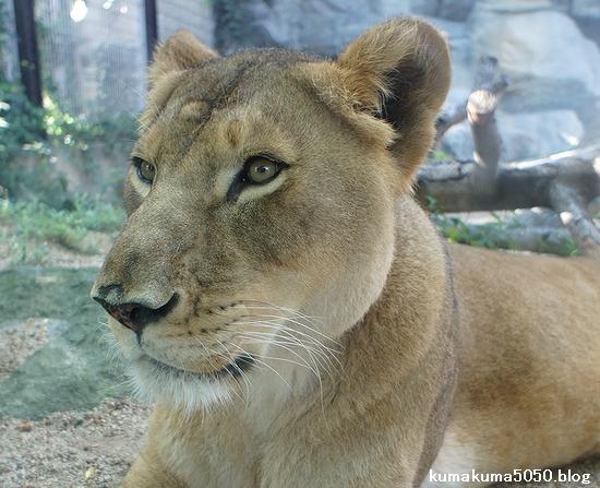 ライオン_297