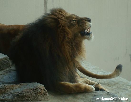 ライオン_219
