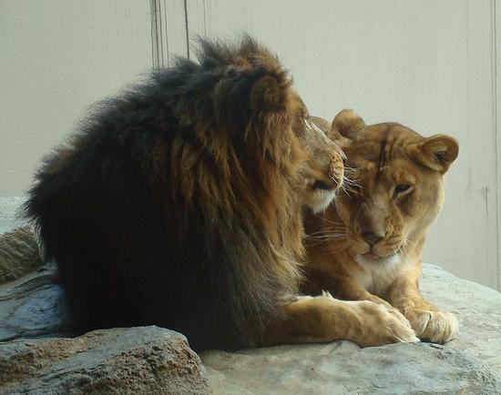 ライオン_217