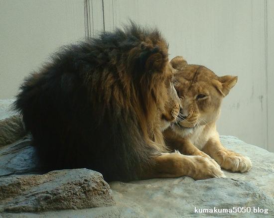 ライオン_216