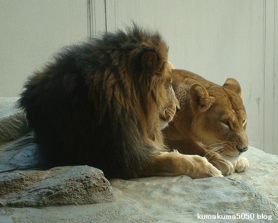 ライオン_214