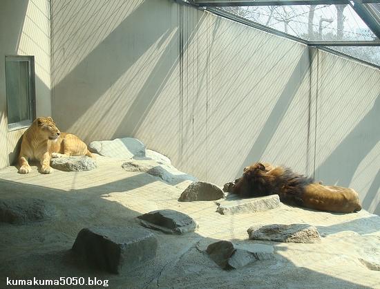 ライオン_203
