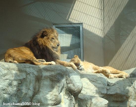 ライオン_209